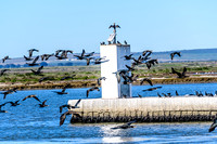 Flight of the (Cape) Cormorants